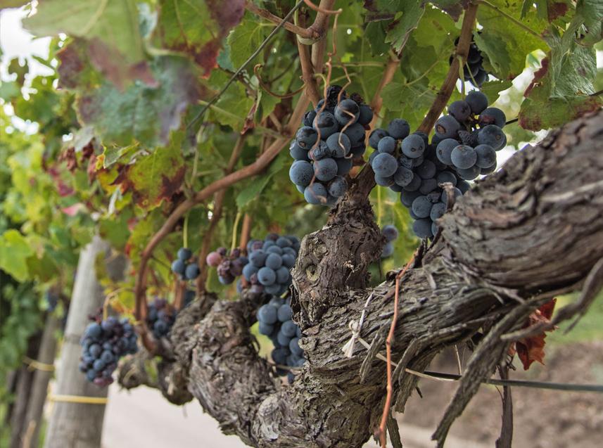 aglianico, taurasi, tenuta cavalier pepe, vino rosso, vino italiano, docg